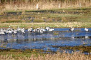 Naturschutzgebiet Reservebecken Alfsee, rastende Kraniche